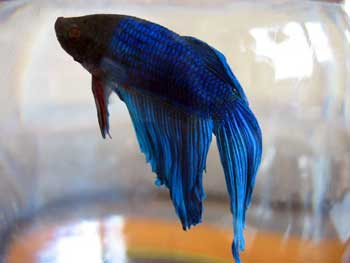 What kind of food do beta fish eat yahoo answers for What is a beta fish